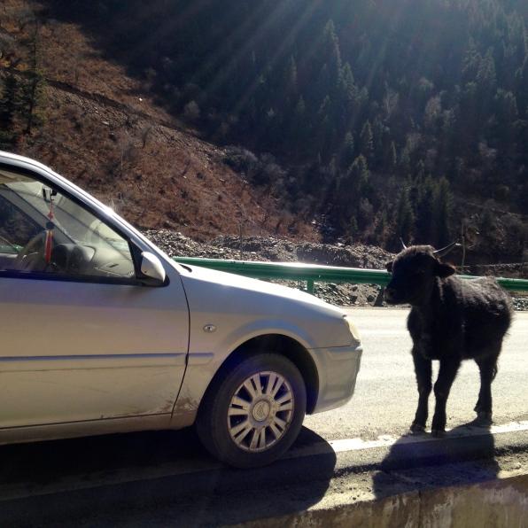 Incoming yak.